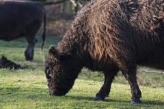 Одичалая корова galloway пася в природе Стоковая Фотография RF