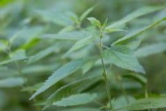 Одичалая крапива растя в лесе Стоковое Изображение RF