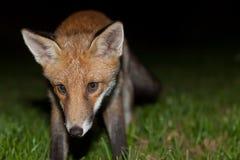 Одичалая красная лиса Стоковая Фотография RF