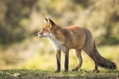 Одичалая красная лисица Стоковое Изображение RF