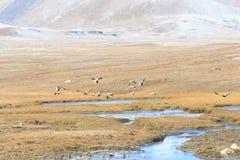 Одичалая красная утка летает Ogar Плато Arabelle, зона Issyk Kul, Ky Стоковые Фото
