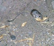 Одичалая крыса кенгуру Стоковая Фотография