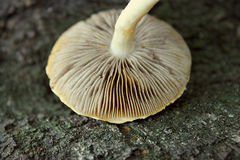 Одичалая крышка гриба Стоковые Фото