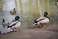 Одичалая кряква Ducks прогулки на береге пруда и заплывания внутри воды озера Стоковое Изображение RF