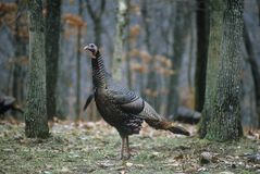 Одичалая курица Турции, уединённый парк лося, MO Стоковые Изображения