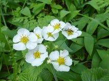 Одичалая клубника в цвете Стоковое фото RF
