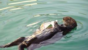 Одичалая морская выдра ест живую природу животного залива воскресения свежих рыб сток-видео
