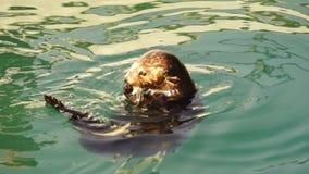 Одичалая морская выдра ест живую природу животного залива Reserrection свежих рыб акции видеоматериалы
