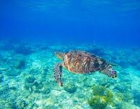 Одичалая морская черепаха в воде Snorkeling в троповой лагуне Океанское животное в голубом тропическом море Стоковое Изображение