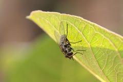 Одичалая муха комнатная стоковые изображения rf