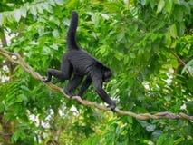 Одичалая обезьяна паука Стоковая Фотография