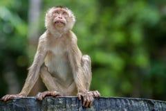 Одичалая обезьяна сидя на конкретном стуле в лесе национального парка Стоковые Фотографии RF