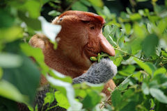 Одичалая обезьяна хоботка есть в лесе Борнео Стоковое фото RF