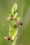Одичалая орхидея как флористическая предпосылка Стоковое Изображение RF