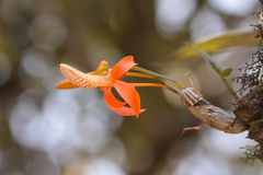 Одичалая орхидея цветет цветение Стоковая Фотография
