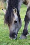 Одичалая лошадь Konik пася в природе Стоковое Изображение RF
