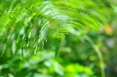 Красотка - папоротник в солнечной пуще Стоковое Фото