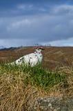 Одичалая птица, Исландия Стоковая Фотография