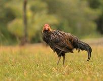 Одичалая птица на выдерживать Кауаи влажный после шторма дождя стоковые фото