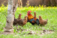 Одичалая птица, цыпленок в джунглях Стоковая Фотография RF