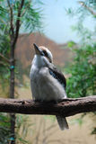 Одичалая птица Kookaburra на ветви дерева Стоковое Изображение RF