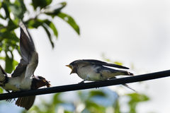 Одичалая птица - martlet & x28; Urbica Delichon & x29; подавая it& x27; ребенок s маленький с едой стоковое фото rf