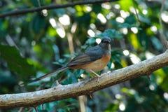 Одичалая птица Shama Стоковое Изображение