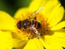 Одичалая пчела на желтом цветке Стоковая Фотография