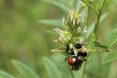 Одичалая пчела на полевых цветках Стоковые Фотографии RF
