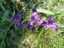 Одичалая радужка с фиолетовыми лепестками в зеленой траве Стоковые Фотографии RF