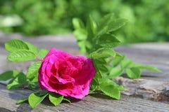 Одичалая роза кармазина с зелеными листьями Стоковое Изображение