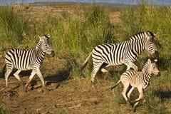Одичалая семья бежать в кусте, национальный парк зебр Kruger, Южная Африка Стоковое Фото