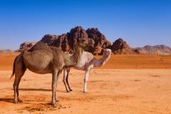 Одичалая семья верблюда в пустыне Стоковые Фото