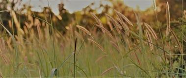 Одичалая трава в заходе солнца Стоковое фото RF