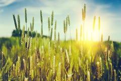 Одичалая трава на заходе солнца лета Стоковое Изображение RF