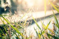 Одичалая трава на речном береге на заходе солнца Стоковые Фотографии RF