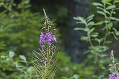 Одичалая трава цветков горы фиолетовых, гора Rila Стоковая Фотография RF