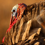 Одичалая Турция придала квадратную форму Стоковое Фото