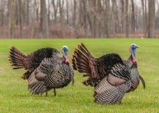Одичалая Турция Стоковая Фотография