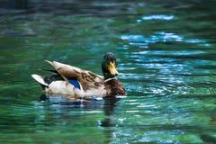 Одичалая утка кряквы в воде Стоковое фото RF