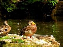 Одичалая утка кряквы Стоковая Фотография