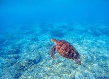 Одичалая черепаха в открытом море над кораллами Прованское фото зеленой черепахи подводное Стоковые Фотографии RF