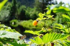 Одичалая ягода в Аляске Стоковое Изображение RF