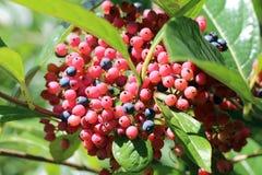 Одичалая ягода Стоковое Изображение