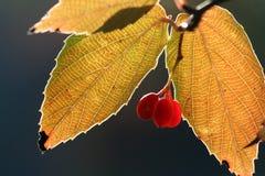 Одичалая ягода Стоковые Изображения RF