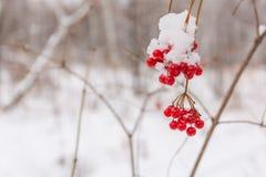 Одичалая ягода Стоковое Изображение RF