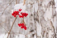 Одичалая ягода Стоковое Фото