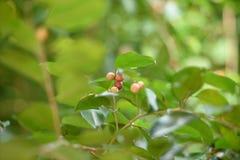 Одичалая ягода Стоковые Фото