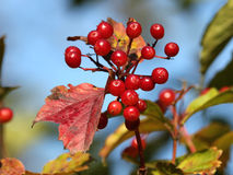Одичалая ягода Sargentii калины Стоковая Фотография RF