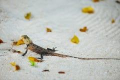 Одичалая ящерица Стоковое Изображение